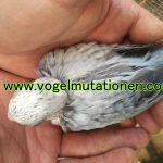 Rosella silver (bluegoldengold)