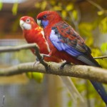 Pennantsittich wildfarben und lutino